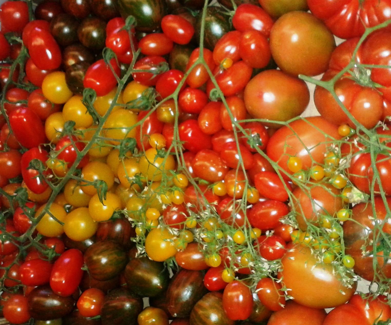 Quintero afirma que el sector tomatero mantiene una contribución significativa a la renta y el empleo de las Islas